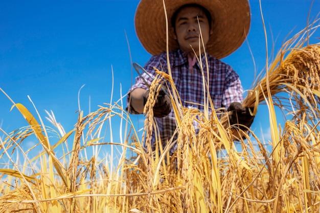Fazendeiro tailandês que colhe no campo.