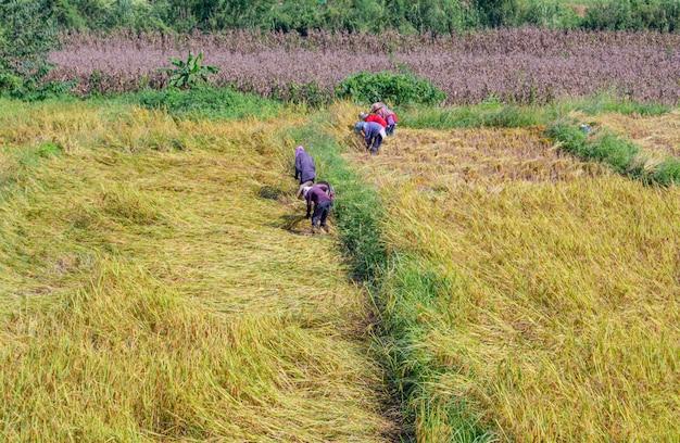 Fazendeiros que ajudam a colher os campos do arroz em pua, nan, tailândia, o 1º de novembro de 2018.