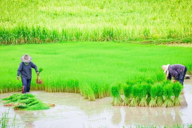 Fazendeiros tailandeses plantando arroz trabalhando