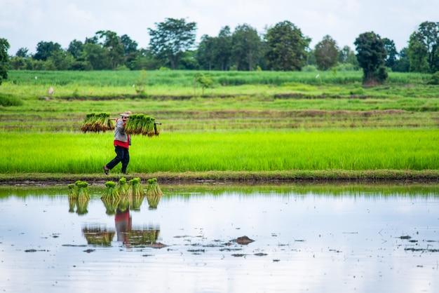 Fazendeiros tailandeses que plantam o arroz no campo de almofada.