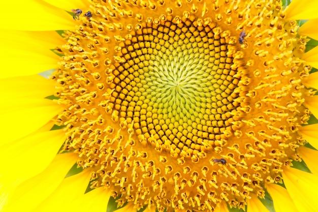Fechado detalhes de girassol em flor com insetos