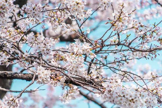 Fechado tiro de sakura flor de cerejeira e ramos