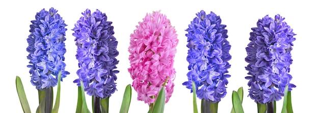 Fechar em jacinto rosa e azul em fundo branco em vista panorâmica