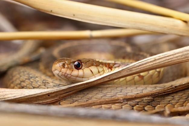 Fechar foto de enormes e perigosas anacondas amarelas