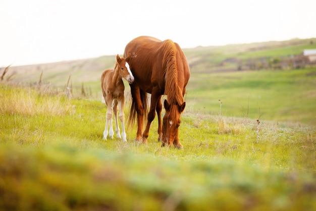 Fechar foto de um pequeno potro e seu cavalo mãe comendo grama no campo
