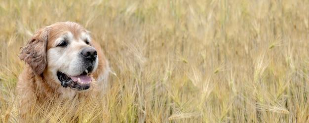 Fechar na cabeça de um cão, golden retriver em um campo de trigo
