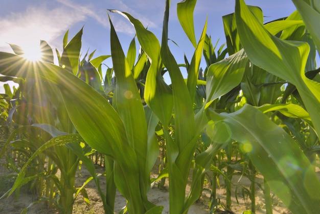 Fechar na folha od milho crescendo em um campo sob o sol