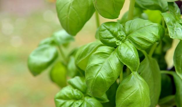 Fechar na folha verde frescura de manjericão crescendo no jardim