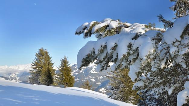 Fechar na neve cobriu um ramo de abeto na frente da montanha coberta de neve sob o céu azul