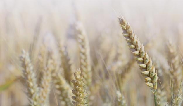 Fechar na orelha madura de crescimento de trigo em um campo