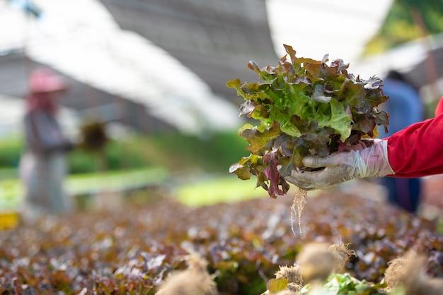 Fechar o agricultor de mão no jardim hidropônico durante o tempo de manhã