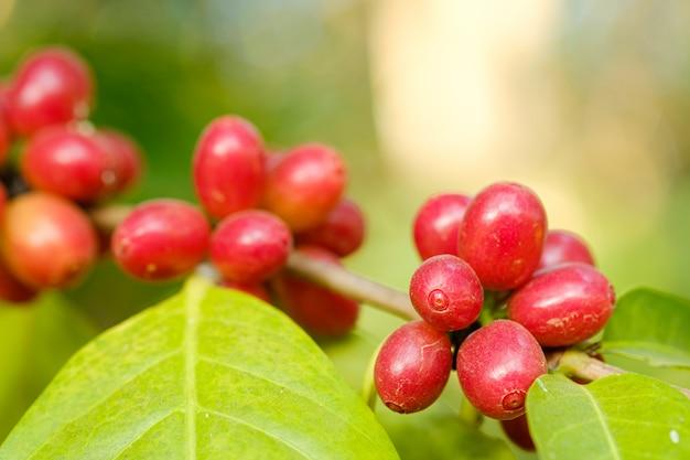 Fechar o café em grão na natureza