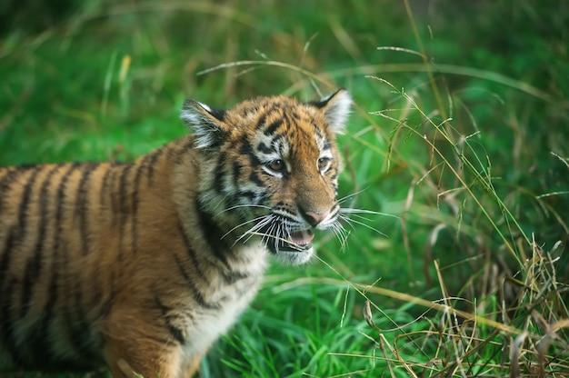 Fechar o filhote de tigre siberiano fofo