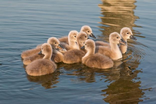 Fechar o grupo de pequenos cisnes na primavera no lago