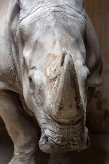 Fechar o retrato de rinoceronte branco de lábios quadrados