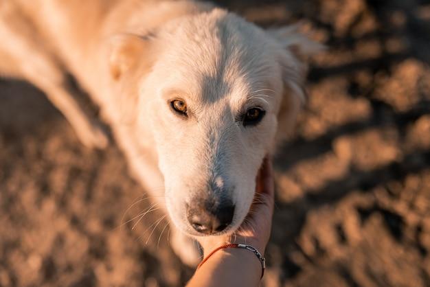 Fechar o retrato do cão de alabama branco focinho no pôr do sol