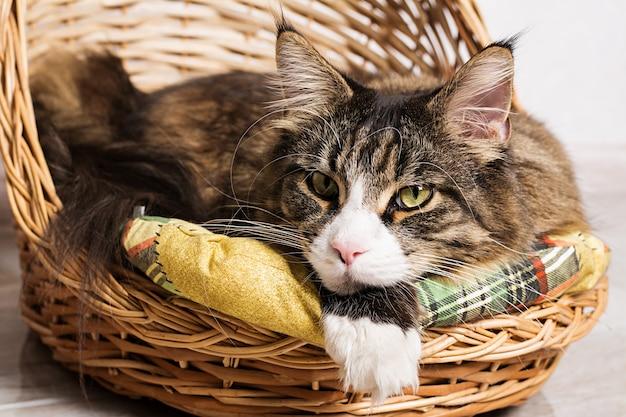 Fechar o retrato do gato maine coon na cesta