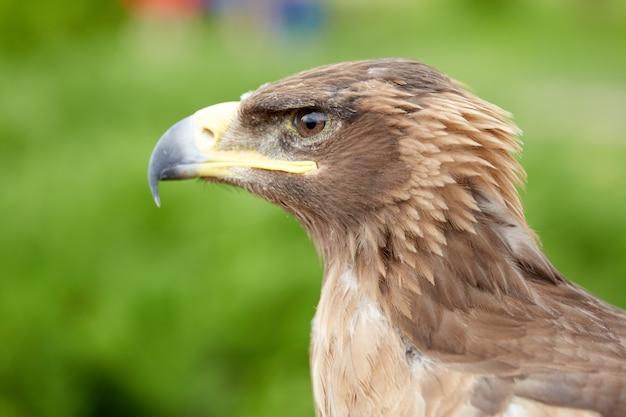 Fechar pássaro falcão