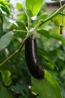 Feche a berinjela orgânica fresca no jardim.