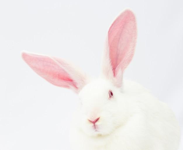 Feche a cabeça de um coelho com orelhas grandes em um fundo branco