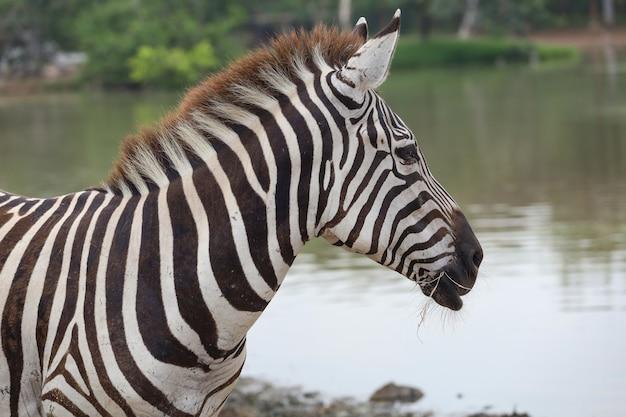 Feche a cabeça de uma zebra no parque nacional