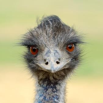 Feche a cabeça do pássaro avestruz na natureza
