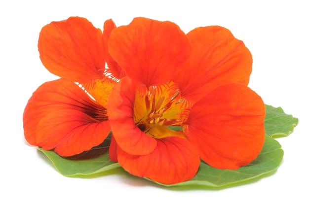 Feche a capuchinha laranja com folhas