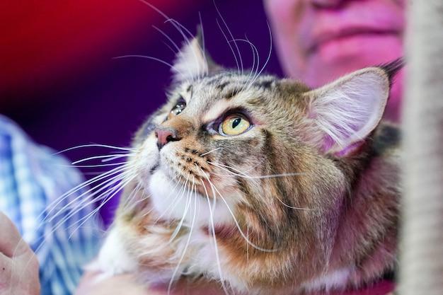 Feche a cara do gato tigre e bigodes longos cabelos castanho-brancos.