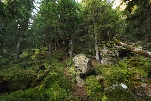 Feche a cobertura de musgo verde em uma floresta de pinheiros