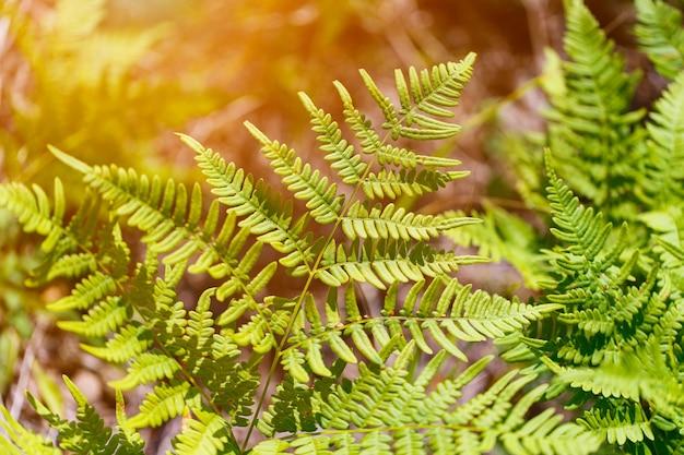 Feche a folha de uma samambaia-da-tasmânia (dicksonia antarctica), também conhecida como samambaia arbórea macia e samambaia-do-homem