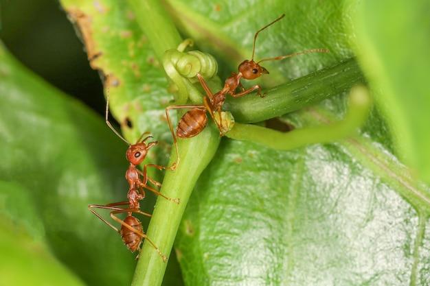 Feche a formiga vermelha na folha fresca na natureza