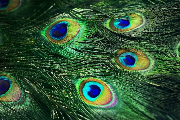 Feche a foto da bela cauda do pavão.