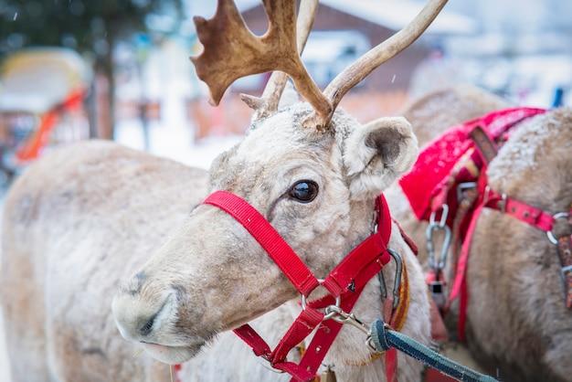 Feche a foto da rena no arnês. veado com chifres em um dia frio de inverno com neve