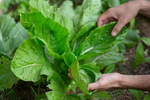 Feche a foto das mãos do jardineiro tocando folhas de alface