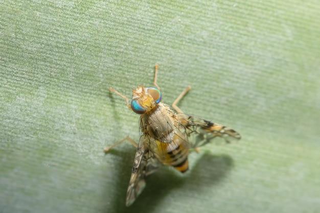 Feche a foto de drosophila melanogaster