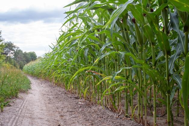 Feche a foto de milho maduro no campo