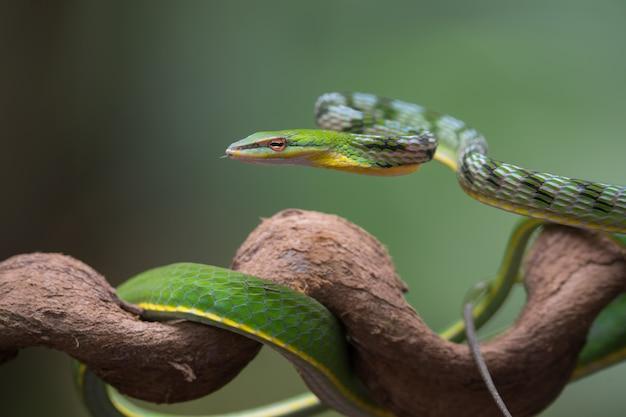 Feche a foto de uma cobra-trepadeira asiática no galho de uma árvore