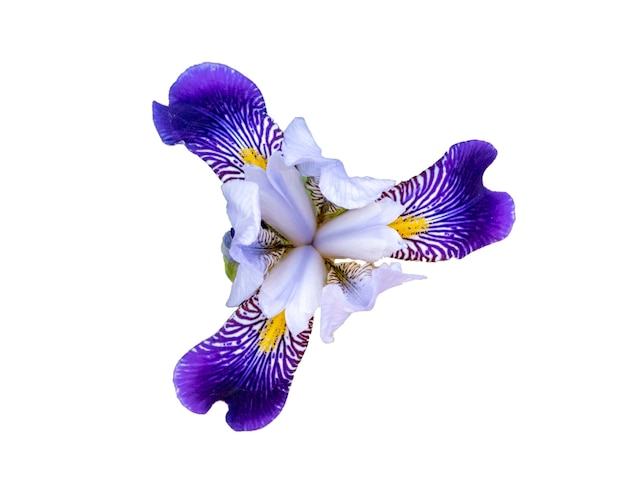Feche a foto de uma flor de íris colorida brilhante no jardim