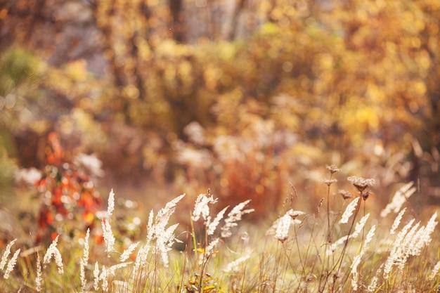 Feche a grama seca de outono na luz do sol do nascer do sol do sol. belo outono abstrato desfocar o fundo. copie o espaço para o texto