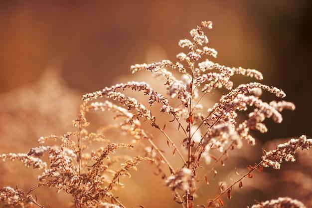 Feche a grama seca do outono do verão na luz do sol do nascer do sol do sol. copie o espaço