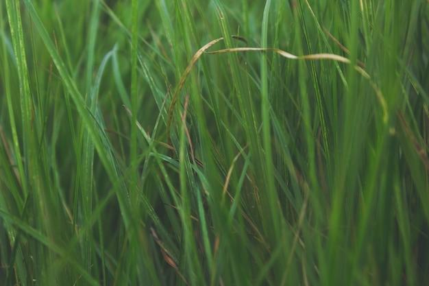 Feche a grama verde