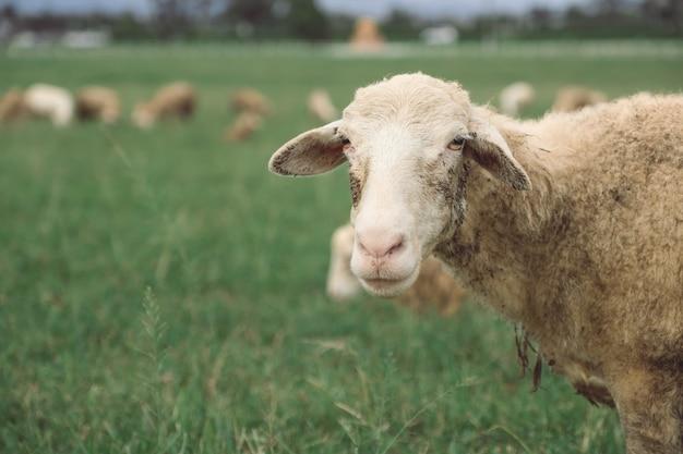 Feche a imagem de ovelhas no campo de grama verde na fazenda rural