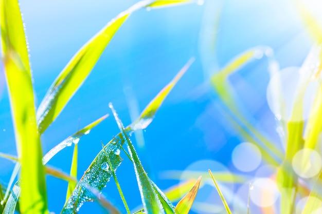 Feche a imagem macro de orvalho ou gotas de chuva em uma folha de grama verde. fundo natural fantástico artístico da floresta de verão durante o nascer do sol.