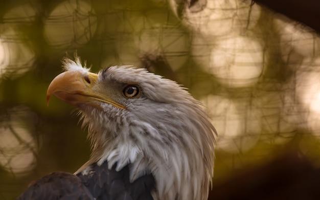 Feche a majestosa águia americana