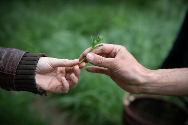 Feche a mão de uma mulher colhendo flores do cosmos em um jardim.