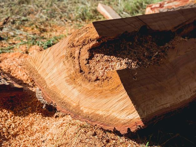 Feche a superfície lisa de uma grande árvore, tronco cortado por uma serra elétrica com serragem no chão.