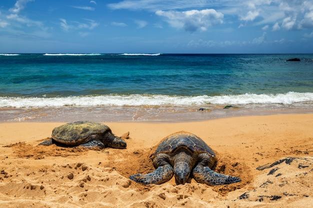 Feche a vista das tartarugas marinhas descansando na praia de laniakea em um dia ensolarado, oahu, havaí