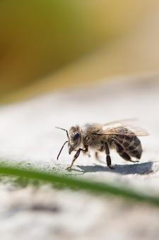 Feche acima da abelha do mel no jardim.