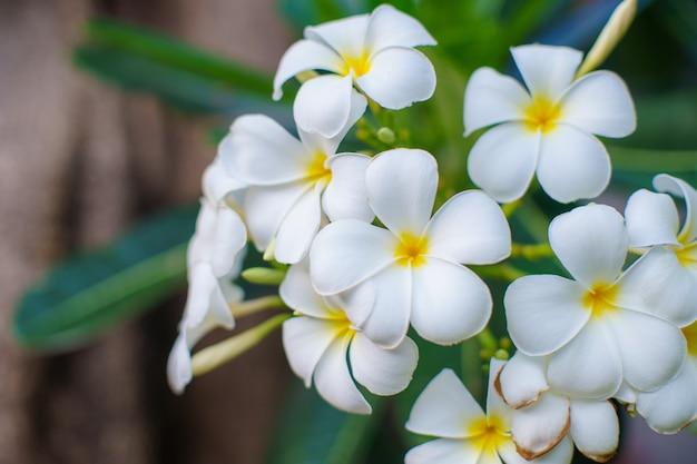 Feche acima da árvore bonita da cor branca da flor das flores do plumeria relaxe na luz solar do parque verde e no conceito exteriores dos termas do fundo do alargamento.