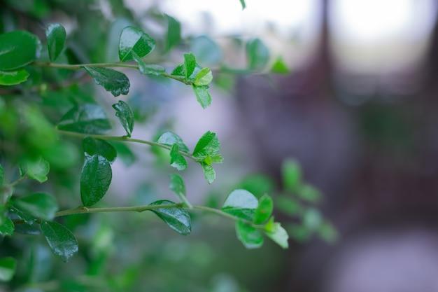 Feche acima da árvore bonita do chá de hokkien no jardim no bokeh claro. Foto Premium